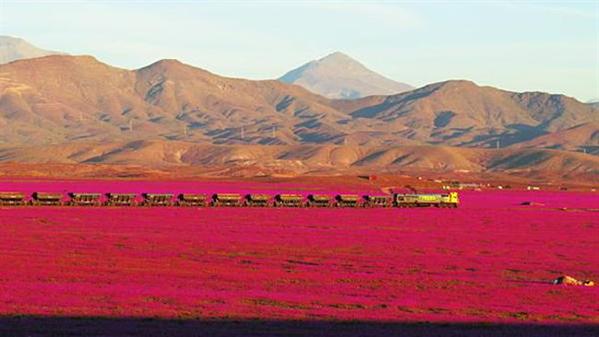 L'IMAGE DU JOUR : CHILI UNE VAGUE FLEURIE SUR LE DÉSERT LE PLUS ARIDE DU MONDE : Des fleurs sur un sol très sec, celui du désert chilien d'Atacama. Sans être inédit, le phénomène très intense cette année est dû à l'épisode climatique El Niño. Une immense étendue de fleurs colorées tapisse en ce moment le sol le plus aride du monde, celui du désert d'Atacama au nord du Chili. Le tapis de fleurs sur ce sol désertique apparaît tous les quatre ou cinq ans, mais en cette période de l'été austral, son intensité explose en rose et mauve. Surtout, il s'agit de la deuxième floraison annuelle. Le phénomène, selon les spécialistes, s'explique par les fortes pluies de mars, qui avaient d'ailleurs provoqué des inondations meurtrières. La beauté du paysage cache donc un effet climatique redouté, celui d'El Niño. Il provoque des pics extrêmes, d'inondation ou de sécheresse. Cette année, c'est de la pluie en quantité inhabituelle qu'il a apportée au désert chilien. (Source FI)