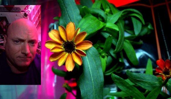 L'IMAGE DU JOUR : À la mi-janvier, une zinnia cultivée dans la Station Spatiale Internationale a fleuri. C'est l'astronaute américain Scott Kelly qui a assuré le rôle de jardinier, le système automatique ne donnant pas totalement satisfaction. Malgré la présence d'air, d'eau, de chaleur et un équipage aux petits soins, cette zinnia a dû lutter contre un adversaire de poids : l'absence des effets de la gravité. En juillet 2015, l'équipage de l'ISS a ainsi réussi à produire des laitues, qu'ils ont pu déguster dès le second lot. Pour les zinnias, la tâche était plus ardue car, sans gravité, l'eau reste à des lieux fixes comme dans les racines et risque de noyer la plante. Il a donc fallu utiliser des ventilateurs en permanence. Après deux pertes sur quatre plantes au départ, les efforts de l'astronaute Scott Kelly ont été récompensés par cette belle éclosion. (Sources : NASA-ESA-CE)