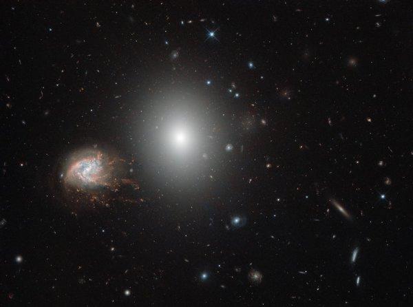 L'IMAGE & L'INFO ASTRO DU JOUR : N½uds et éclats, un exceptionnel champ d'univers vu par HUBBLE ! Dans la constellation des cheveux de Bérénice se trouve l'impressionnante grappe de Coma, une structure de plus de mille galaxies reliées par la gravité. Beaucoup de ces galaxies sont de type elliptique, de même que la plus brillante des deux galaxies dominant cette image: NGC 4860 (centre). Cependant, les périphéries de la grappe accueillent également des galaxies spirales plus jeunes qui affichent fièrement leurs bras tourbillonnants. Cette image montre un magnifique exemple d'une telle galaxie, qui peut être vue à gauche de son voisin lumineux et qui se distingue par son aspect inhabituel, enchevêtré et enflammé, c'est NGC 4858. Plutôt que d'être une simple spirale, c'est ce qu'on appelle un «agrégat de galaxie», qui est, comme son nom l'indique, une galaxie centrale entourée d'une poignée de n½uds lumineux qui semblent en découler, s'étendant et se déchirant. Elle connaît également un taux extrêmement élevé de formation d'étoiles, éventuellement déclenché par une interaction antérieure avec une autre galaxie. Comme nous le voyons, NGC 4858 forme des étoiles si frénétiquement qu'elle utilisera tout son gaz bien avant d'atteindre sa fin de vie. La couleur de ses n½uds clairs indique qu'ils sont formés d'hydrogène, qui brille dans différentes nuances de rouge vif lorsqu'elle est alimentée par les nombreuses jeunes étoiles chaudes qui se cachent à l'intérieur. (Sources NASA-HUBBLE-ESA)