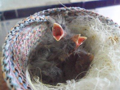 Más nidadas 2011
