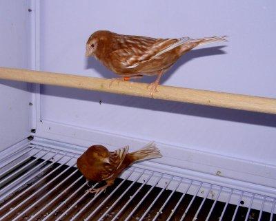 pareja de phaeos 2010