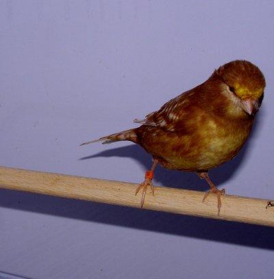 machos phaeos  2010