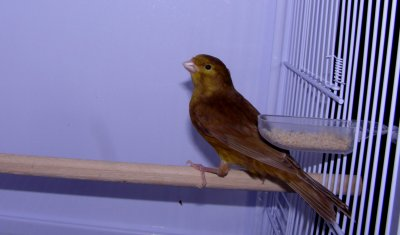 macho 29 anilla 19 portador amarillo intenso