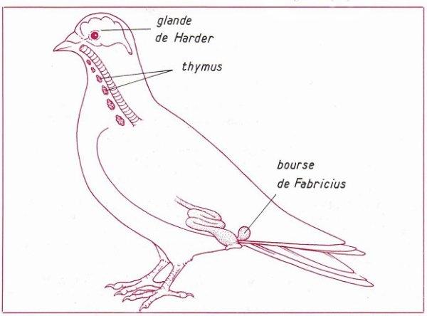 Système immunitaire et bourse de Fabricius