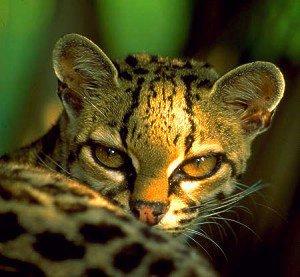 chat sauvage arboricole de la foret amazonienne