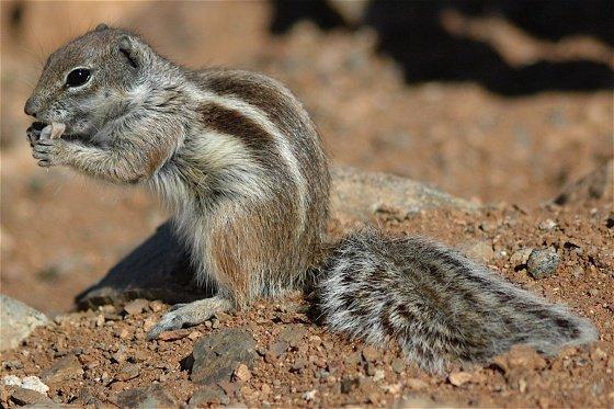 L'écureuil du sahara