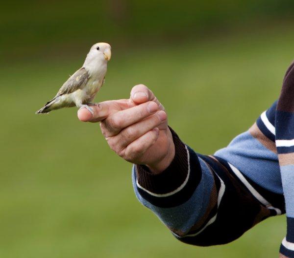 Cali  petit Roseicollis 4 mois 1er vol libre . Pour info c'est une petite femelle qui parle . J'espère pouvoir bientôt faire une vidéo.