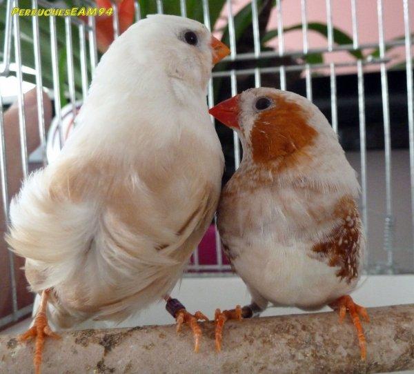 Mon dernier coup de coeur un couple poitrine orange