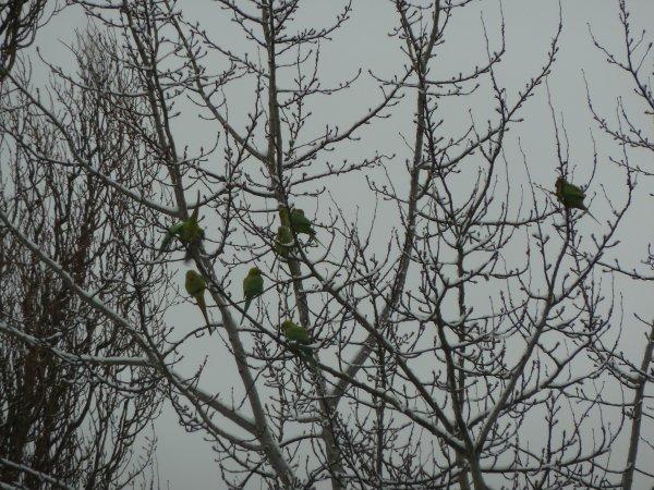 Des Perruches à Collier ont élu domicile dans le parc sous mes fenêtres.