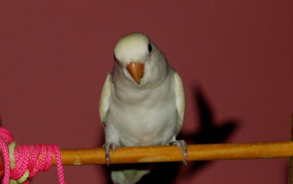 Yako qui partira bientôt chez Zayneb ou une jolie cage l'attend .