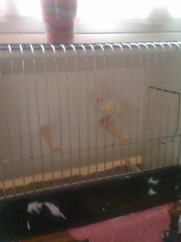 Femelle lipo mosaïque jaune