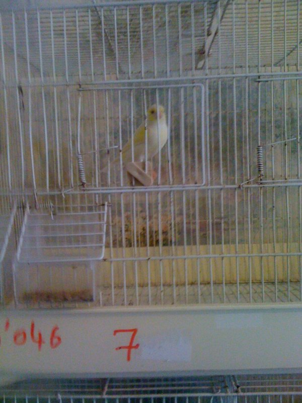 Mâle lipo mosaïque jaune lignée femelle