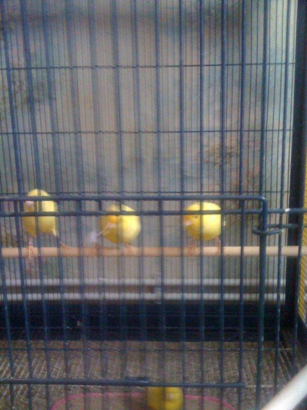 Mâles lipo jaunes
