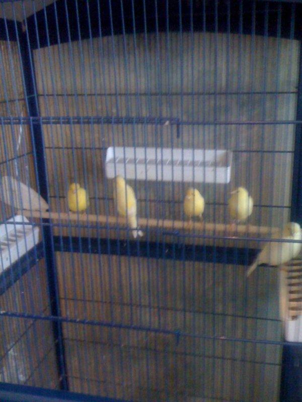Femelles lipo jaunes intensives / schimel / ivoire