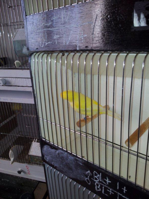 Mâle lipo schimel jaune
