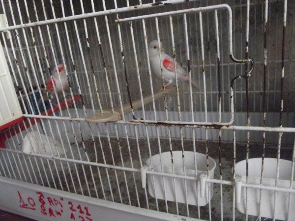 Couple mosaïque rouge lignée femelle
