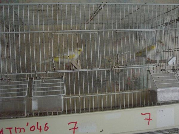 Couple mosaïque jaune lignée femelle
