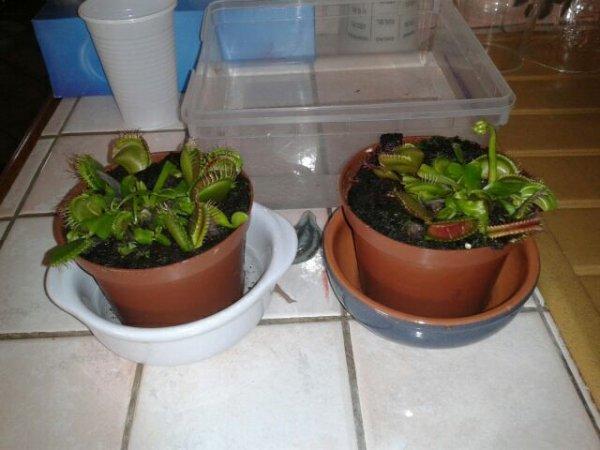 Mes plante carnivore