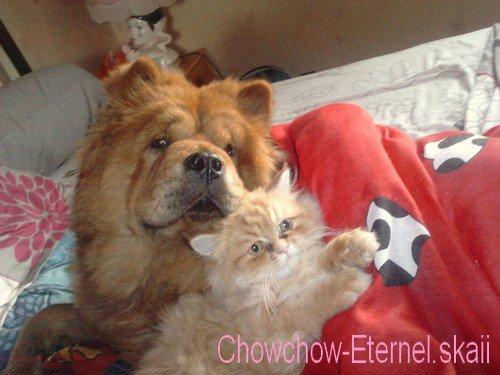 .. • |[ Chowchow-Eternel.skaii ]| •  ~>  Siara & Curly  <~                   • |[ Chowchow-Eternel.skaii ]| • ..