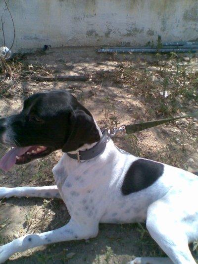 Mon beau chien de chasse