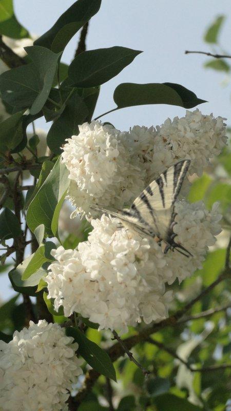 Papillon blanc à trais noir sur fleur blanche.