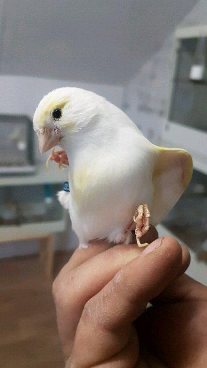 Un de mes femelle reproducteur lipo mosaique jaune femelle lignee mâle