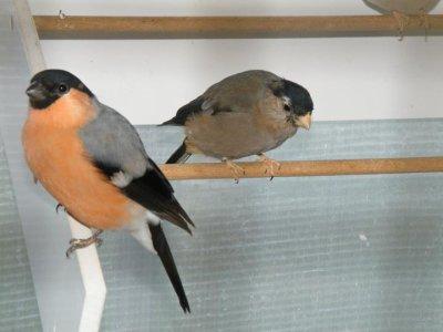 jeunes male et femelle 2011