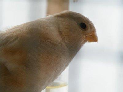 femelle brun pastel
