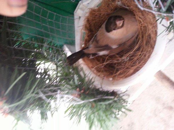Femelle brune coller sur le nid