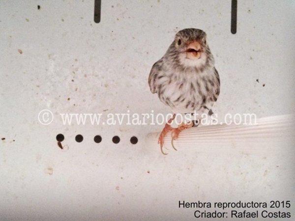 Ágata Rojo Mosaico - Hembras reproductoras 2015