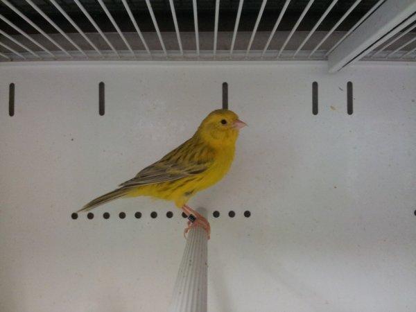 re mâle de l année topaze jaune intensif