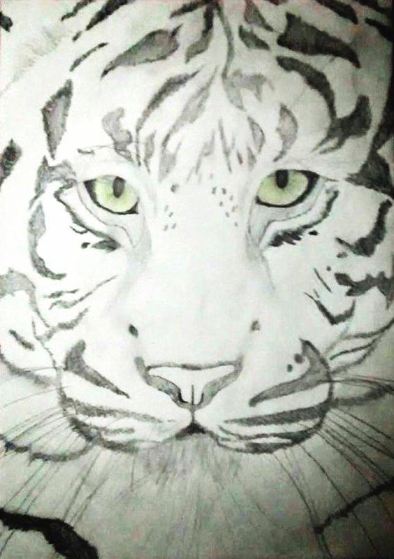 Tigre dessiné à partir d'un modél