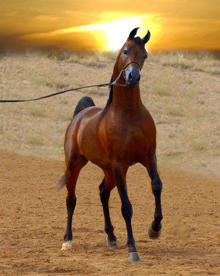 cheval arabe dans le desert