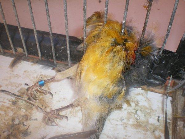 c'est mon troisième canari qui me la tué le bo omir cet anné j'en ai marre