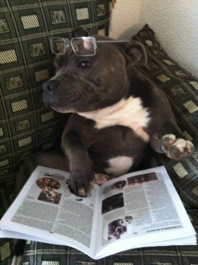 Lecture du magazine ( Staffordshire Bull Terrier  )