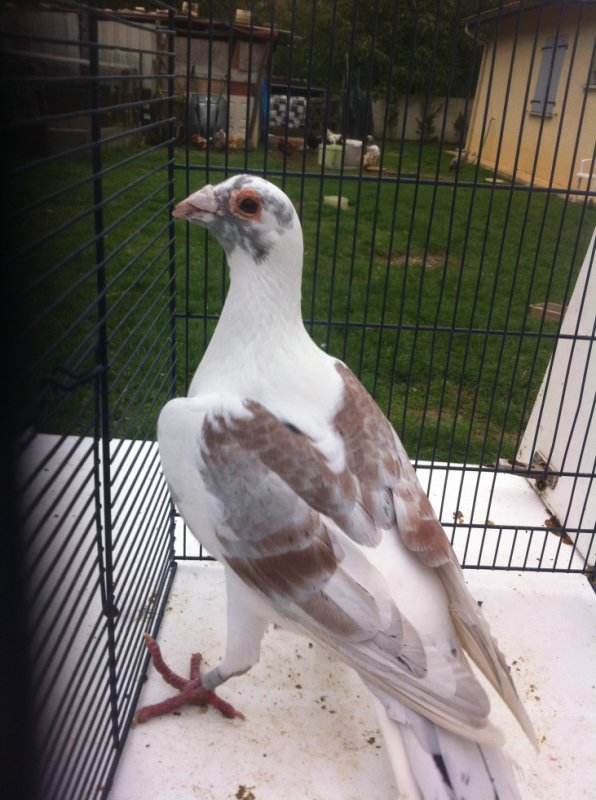 pigeon voyageur .son mal 2013