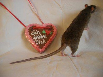 Fesses de rats