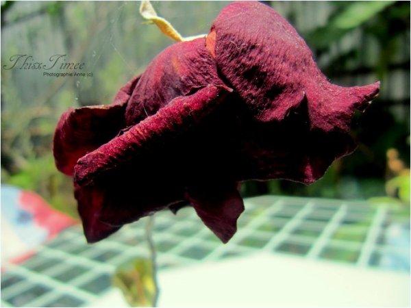 . Une rose , même fanée , ne perd jamais sa beauté ♥