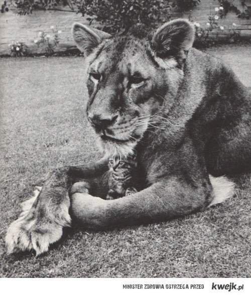 fais pas le tigre avec ta mère alors que tu miaule avec ta meuf