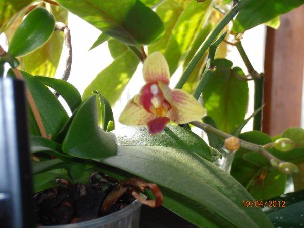 petite fleur pour petite orchidee
