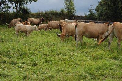 vaches de mon voisin