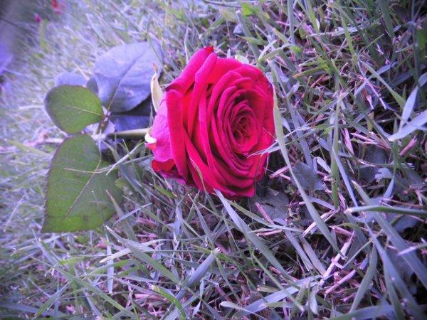 Rose rouge à grande fleur