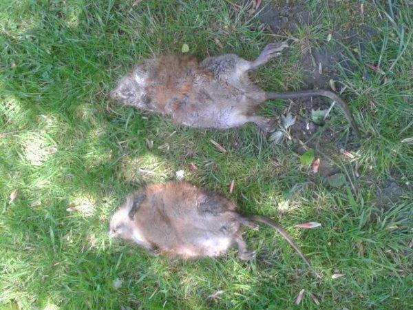 2 rats musqués !
