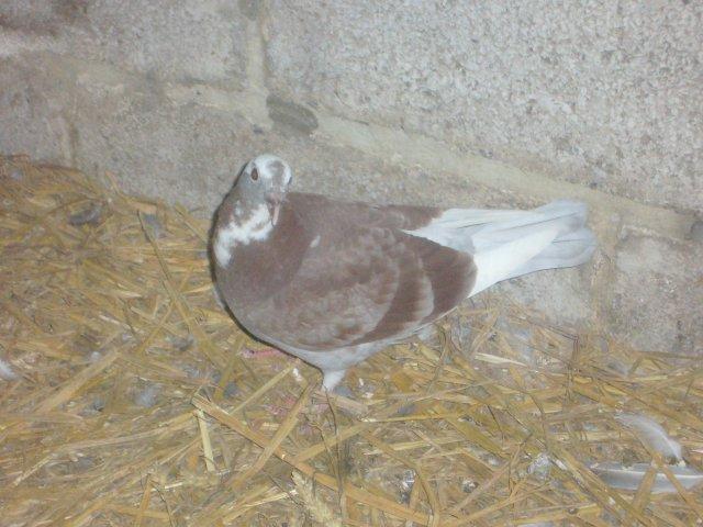 Blog de passion-pigeons09