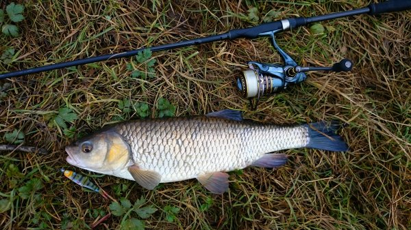 Premier fish de l année chub d environ 50 !