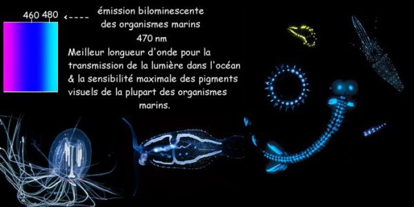 * La bioluminescence *