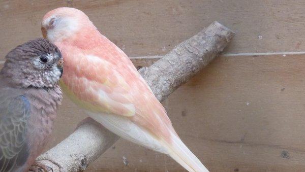FEMELLE RUBINO DE CETTE ANNEE SOEUR DE LA FEMELLE RUBINO de 2011PAGE 2, issue d' un mâle opaline porteur de rubino
