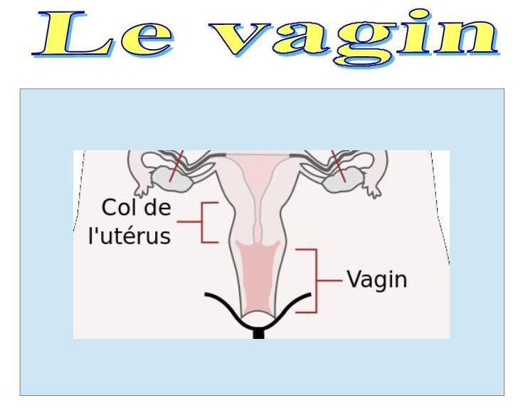 le vagin
