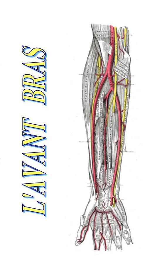 Anatomie humaine : L'avant bras