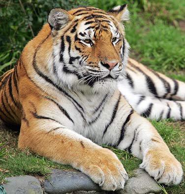 Le tigre est de retour